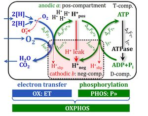 OXPHOS-coupled energy cycles. Source: The blue book