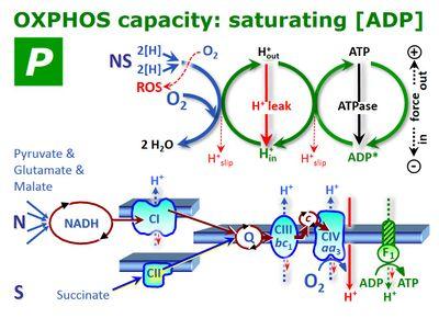 OXPHOS-capacity - Bioblast