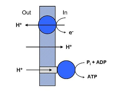 Schemata of ATP_Synthase_proton gradient